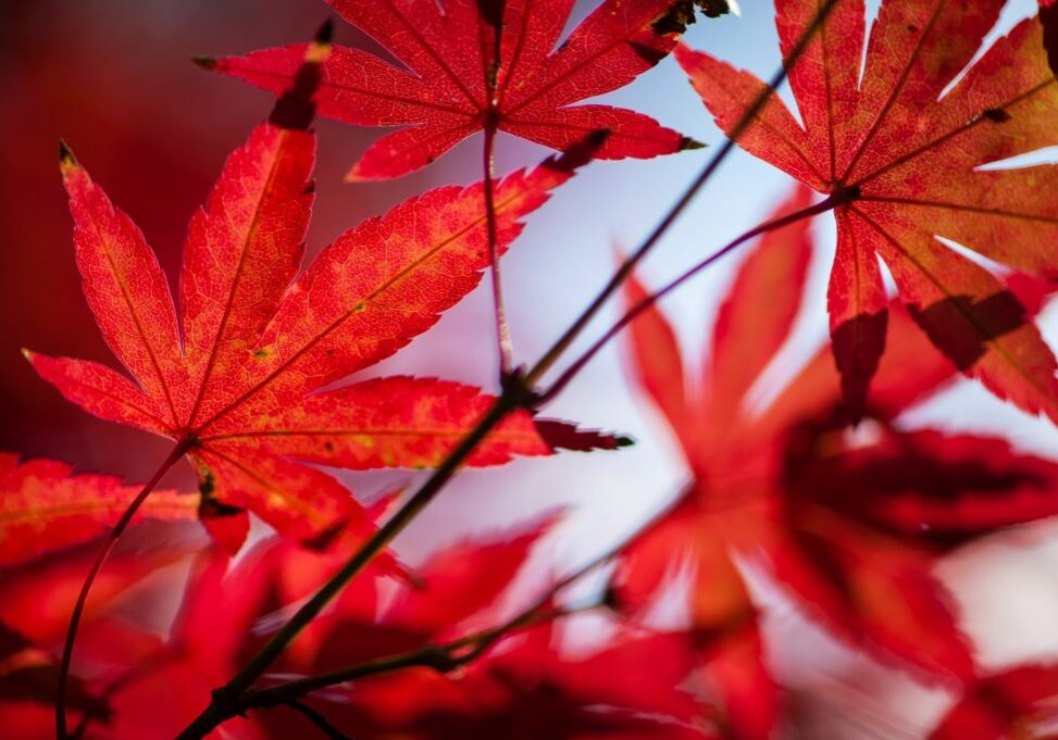 Maple tree leaves in autumn with orange, brown, red and yellow hues